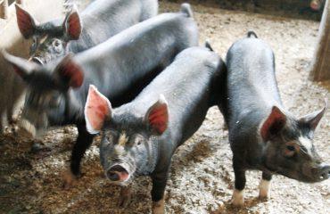 こだわりの自家配合飼料でのびのび育った阿部農場の黒豚。甘くコクがあり、脂肪が白いのが特徴です。